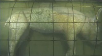 Pig Decomposing Underwater