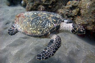 hawksbill turtle. This image was originally posted to Flickr by MagicOlf at http://flickr.com/photos/76771237@N00/3248274430. Permission =(CC BY-SA 2.0)