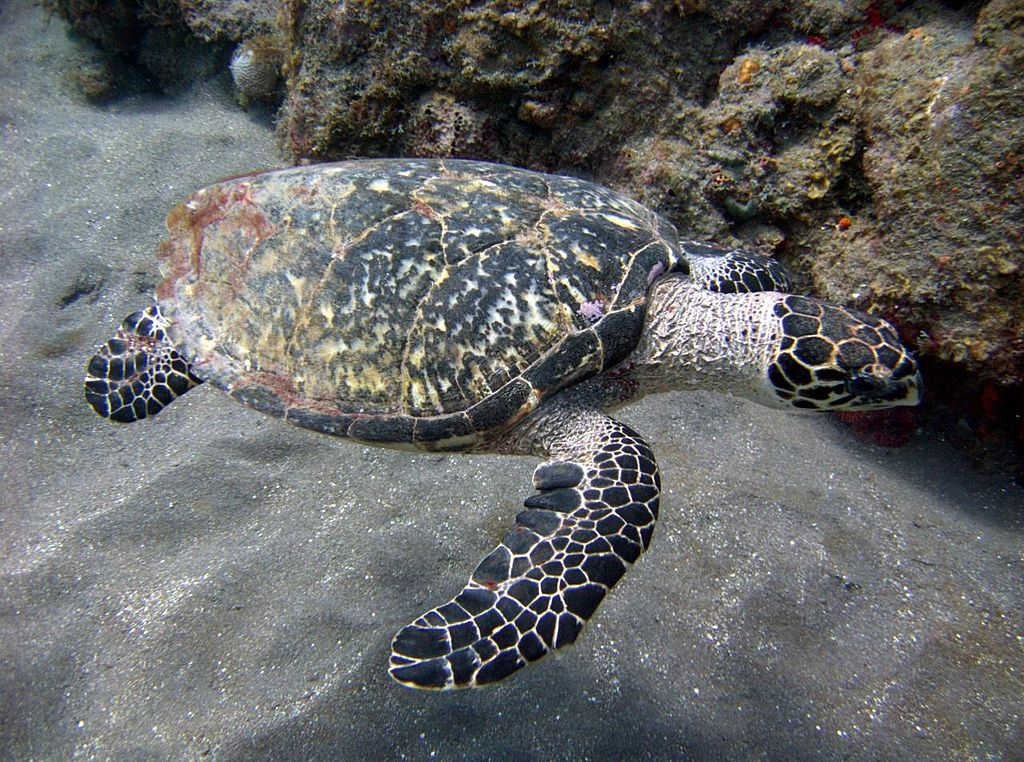 hawksbill turtle. This image was originally posted to Flickr by MagicOlf at //flickr.com/photos/76771237@N00/3248274430. Permission =(CC BY-SA 2.0)