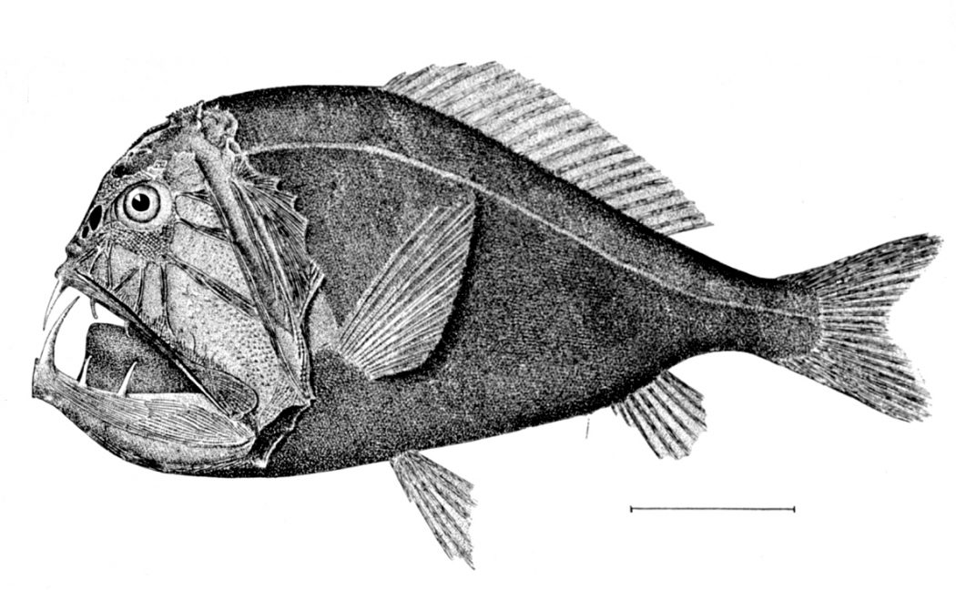 Common fangtooth. Credit: Wikipedia