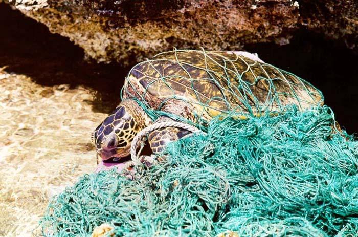 Turtle entangled in ghost net Source: Wikipedia