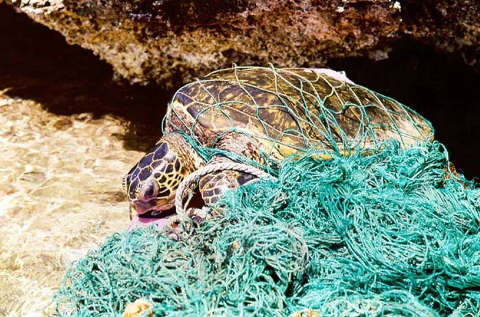 Turtle entangled in ghost net Source: Wikipedia