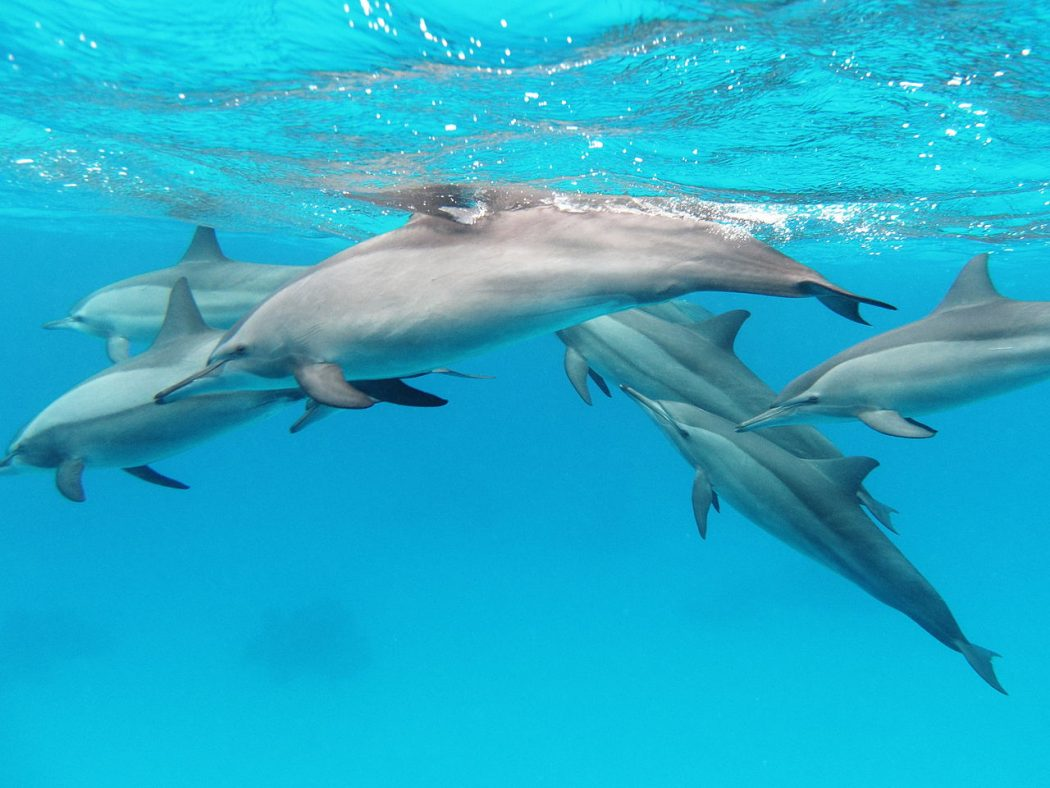 A pod of spinner dolphins (Stenella longirostris) in the Red Sea