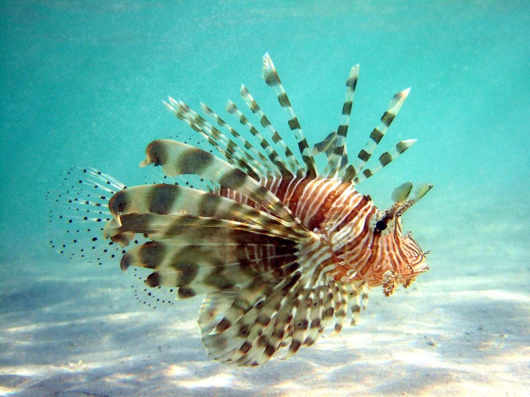 Lionfish Credit: Wikipedia