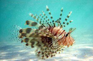 Lionfish Credit: Wikipedia
