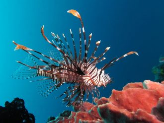 Red Lionfish Photo Credit: Wikipedia