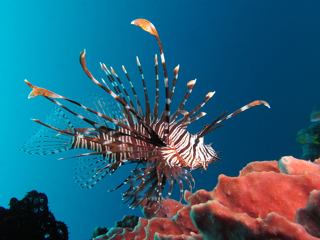 Red Lionfish Photo Credit: Wikipedia