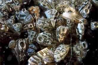Zebra Mussel Credit: Wikipedia