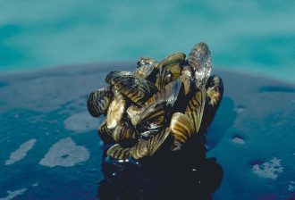 Photo: Zebra Mussels Credit: Wikipedia