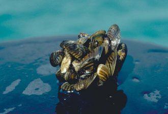Photo: Zebra Mussels Credit: Wikipedia