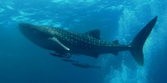 Photo: Whale Shark Credit: Wikipedia