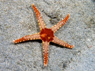 Photo: Sea Star Credit: Wikipedia